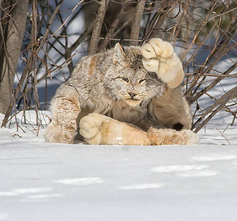 A big footed Canadian Lynx captured Cat species, Canada