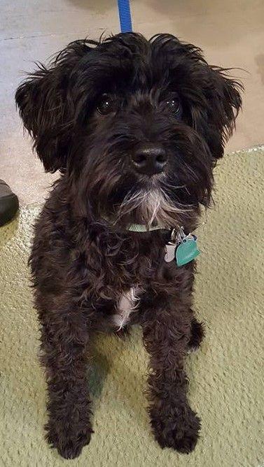 black adult miniature schnauzer tacomo dog training