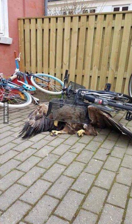 13 pounds eagle failed to land and got trapped under bicycle basket. The eagle was picked up and brought into care. Denmark