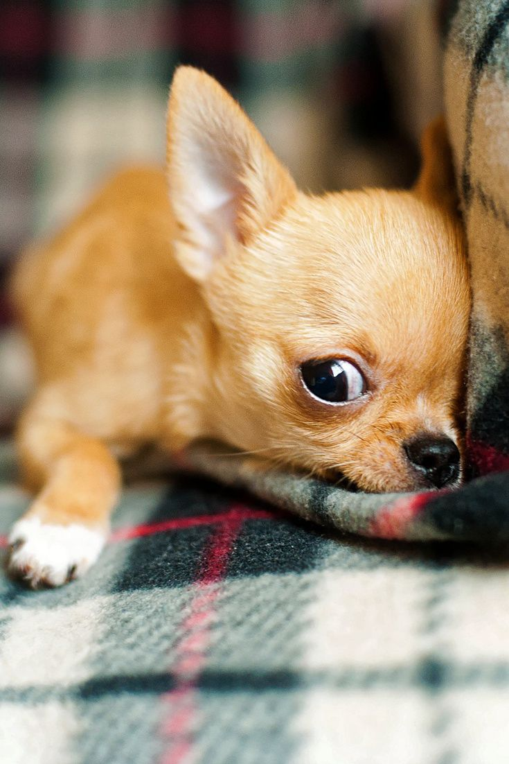 A cute Chihuahua puppy #cute #puppy #dog #Chihuahua # ...