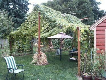 Hops Trellis Backyard Hops Ideas Hops Trellis Garden 400 x 300