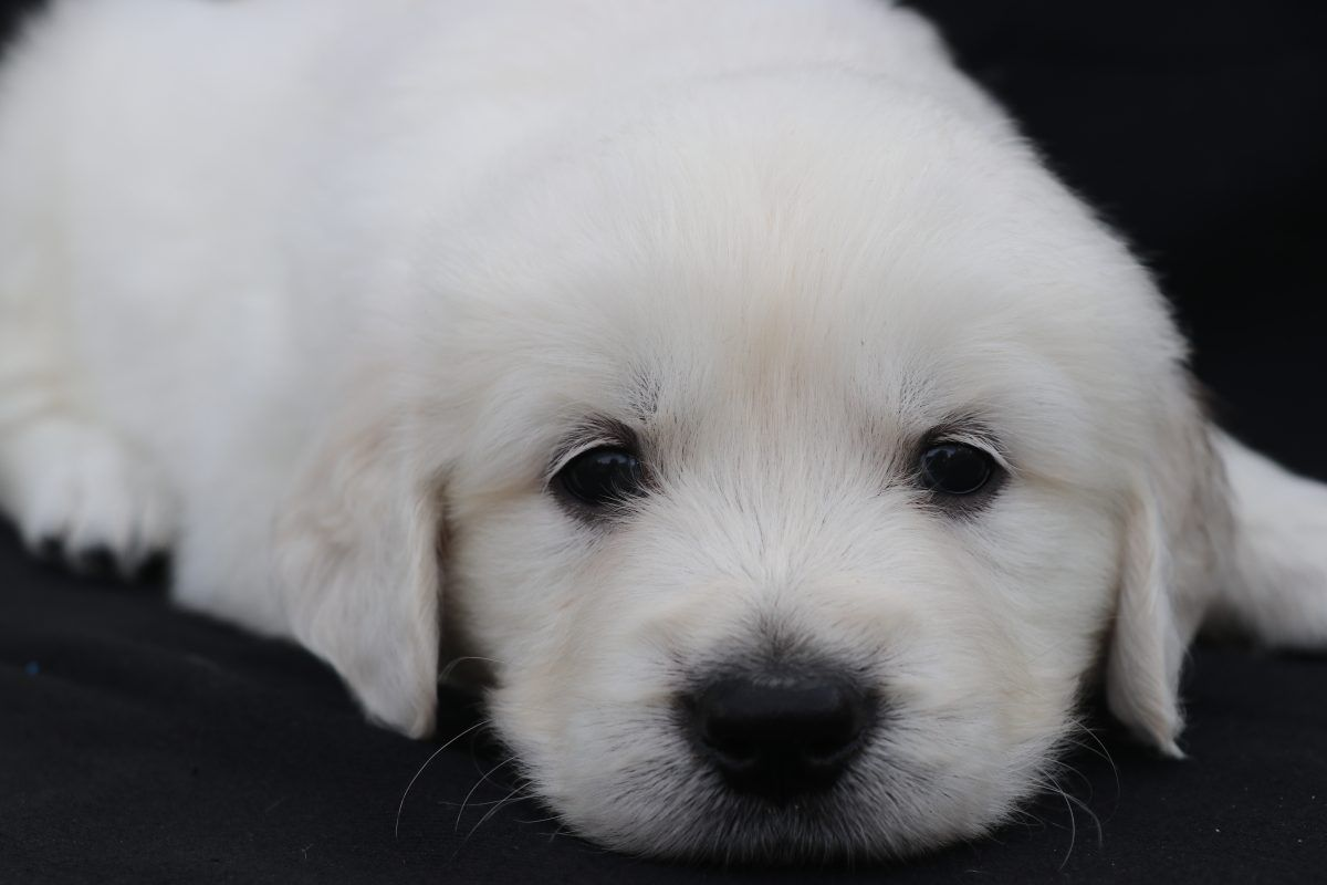Gunner English Golden Retriever Puppy For Sale North Manchester