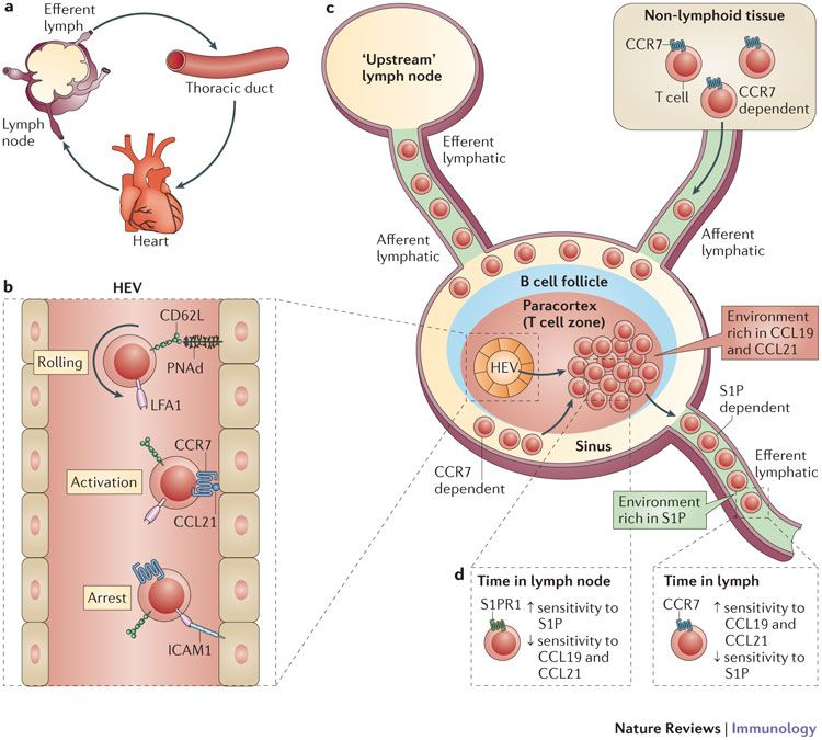 Difference in Lymphatic Function in Health and Disease State