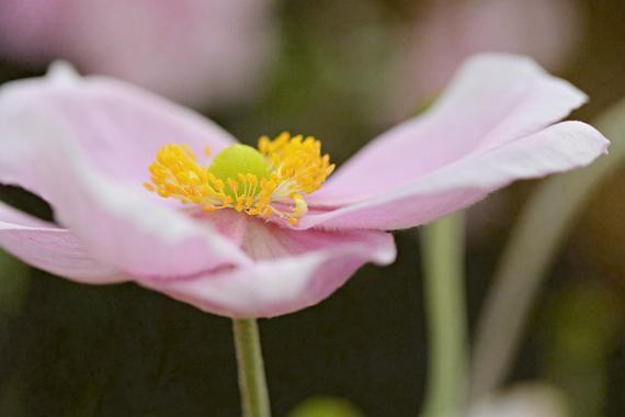Pink, Flower, Anemone Macro, Flower Macro Photography, Digital Download, Nature Lover, Screensaver,