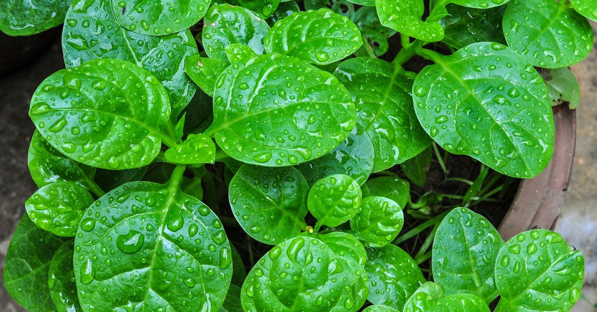 How To Grow And Care For Spinach In Containers Indoor 400 x 300