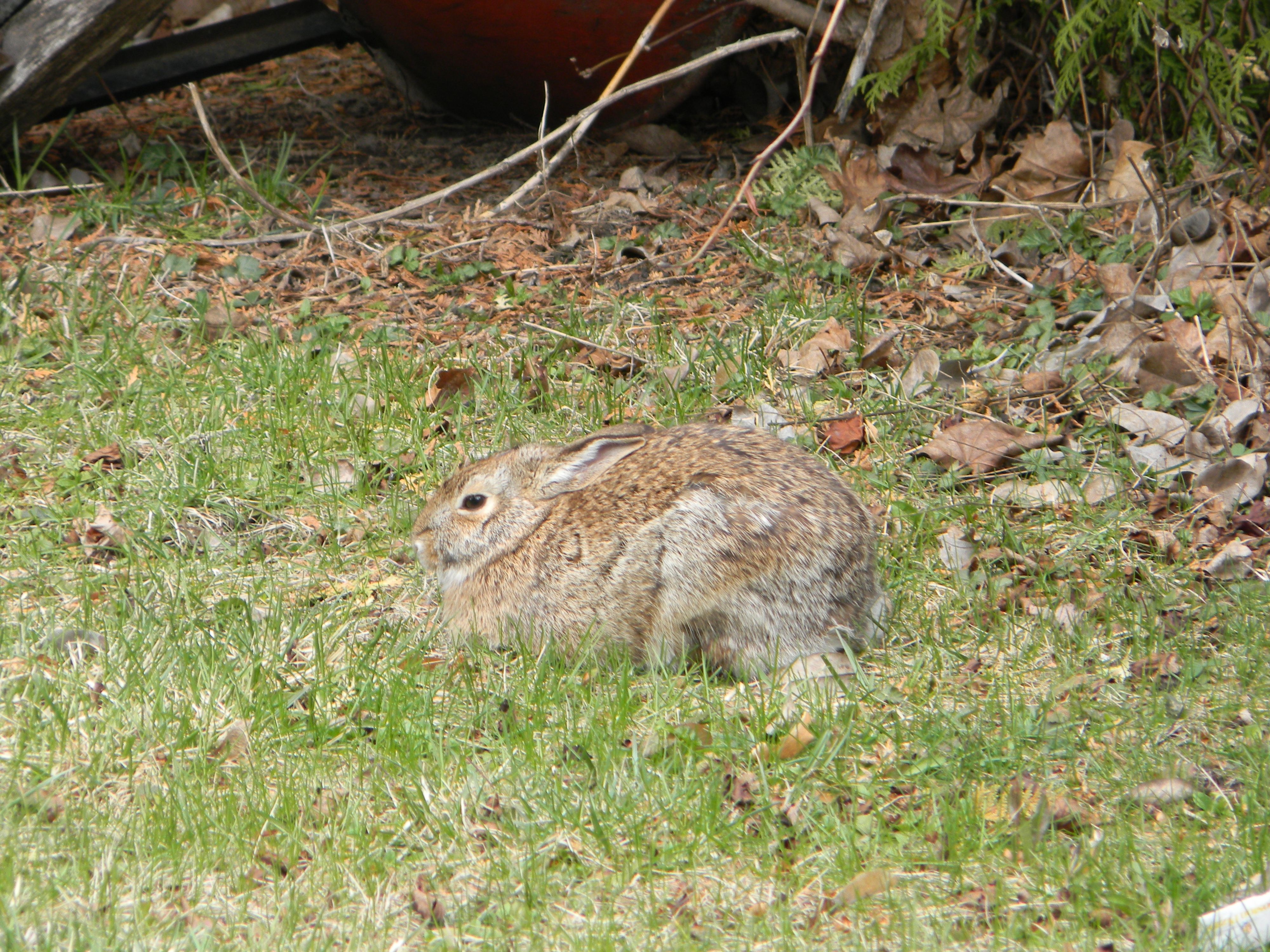 Bunny in our backyard.