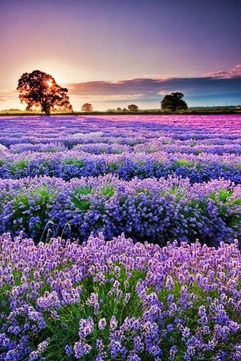 Fields Of Lavender In Provence France Alam Yang Indah Pemandangan Yang Indah Lanskap