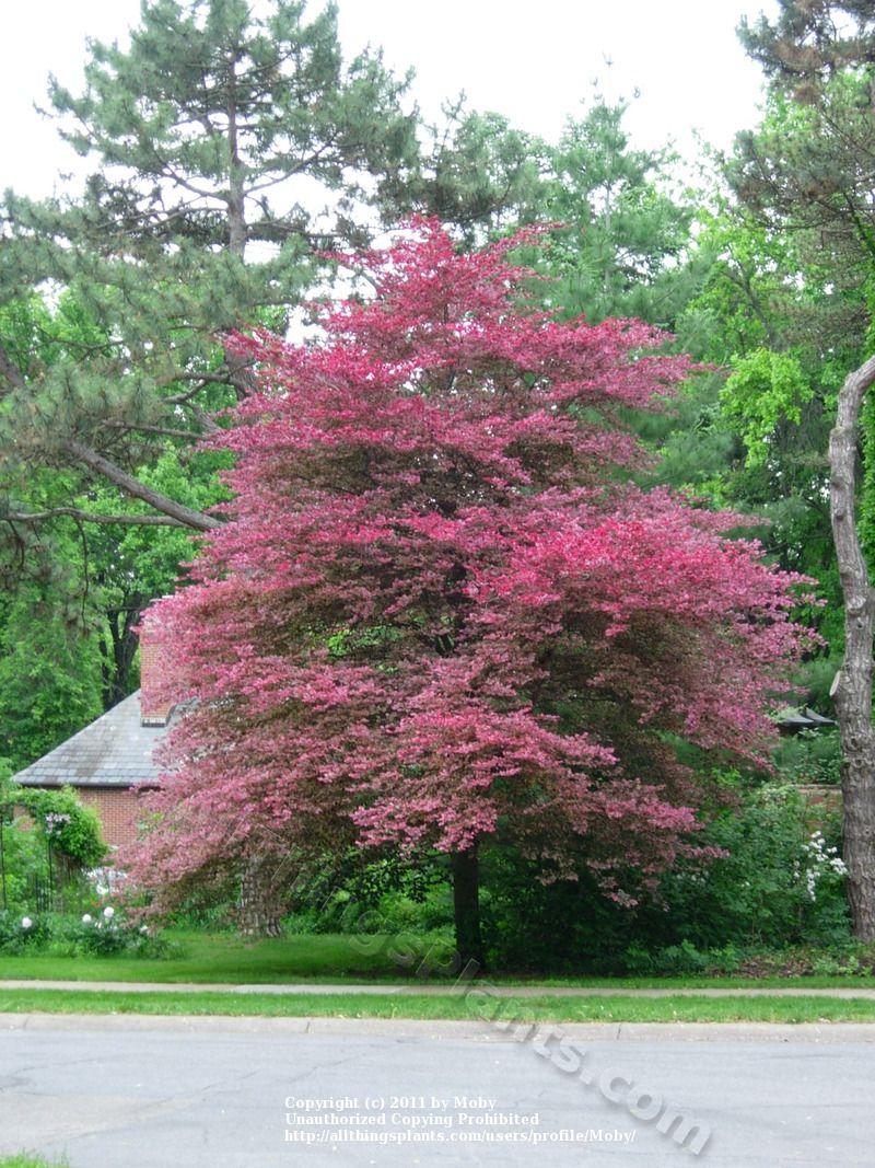 What Color Is Beech Wood ~ Tri colored beech garden exterior pinterest gardens