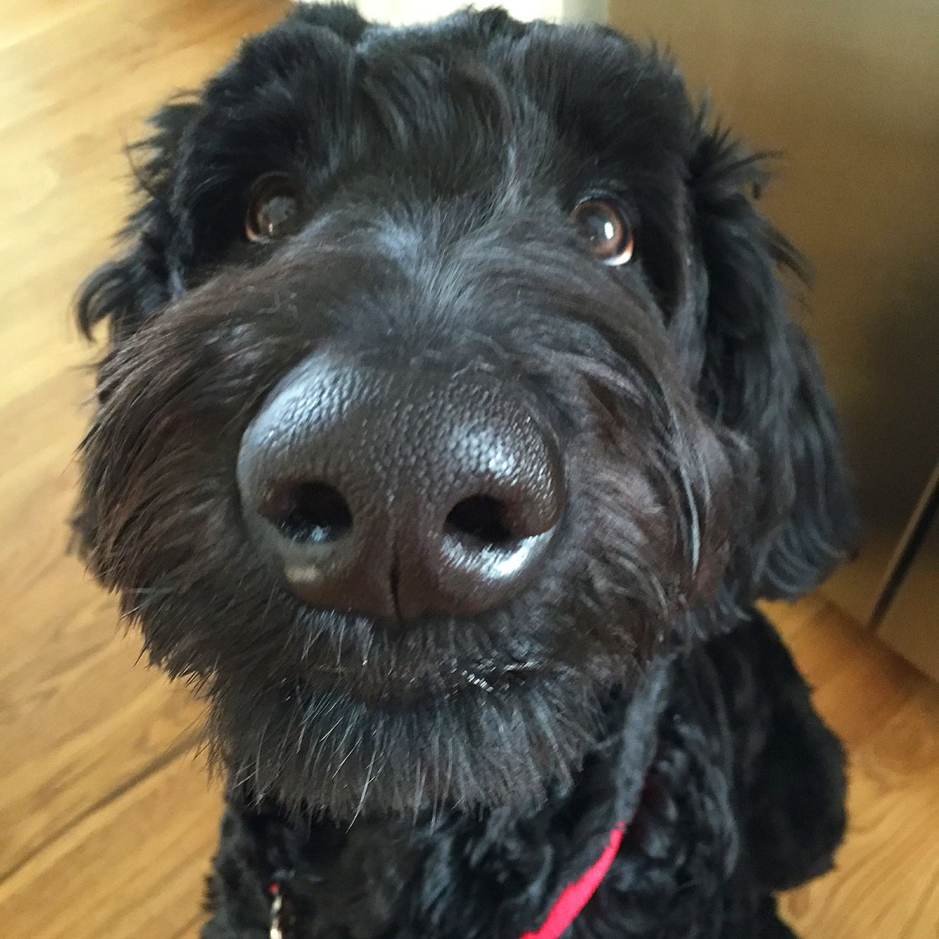 Barney Our Giant Schnoodle With His Haircut Dog Grooming Styles Schnoodle Grooming Style