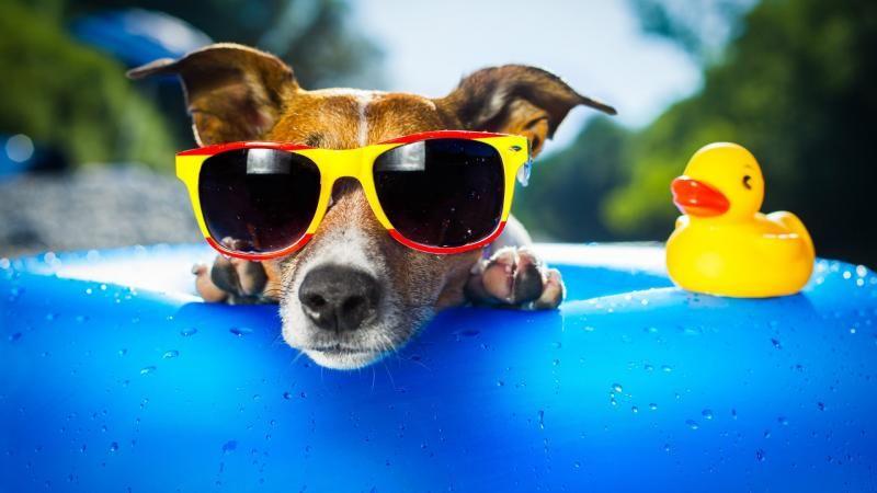 Dog Days Of Summer Dog Sunglasses Dog Beach Sunglasses