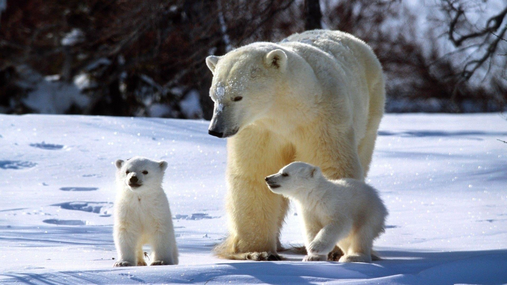 1920x1080 Wallpaper Polar Bears Snow Family Walk Baby Polar Bears Polar Bear Cute Polar Bear
