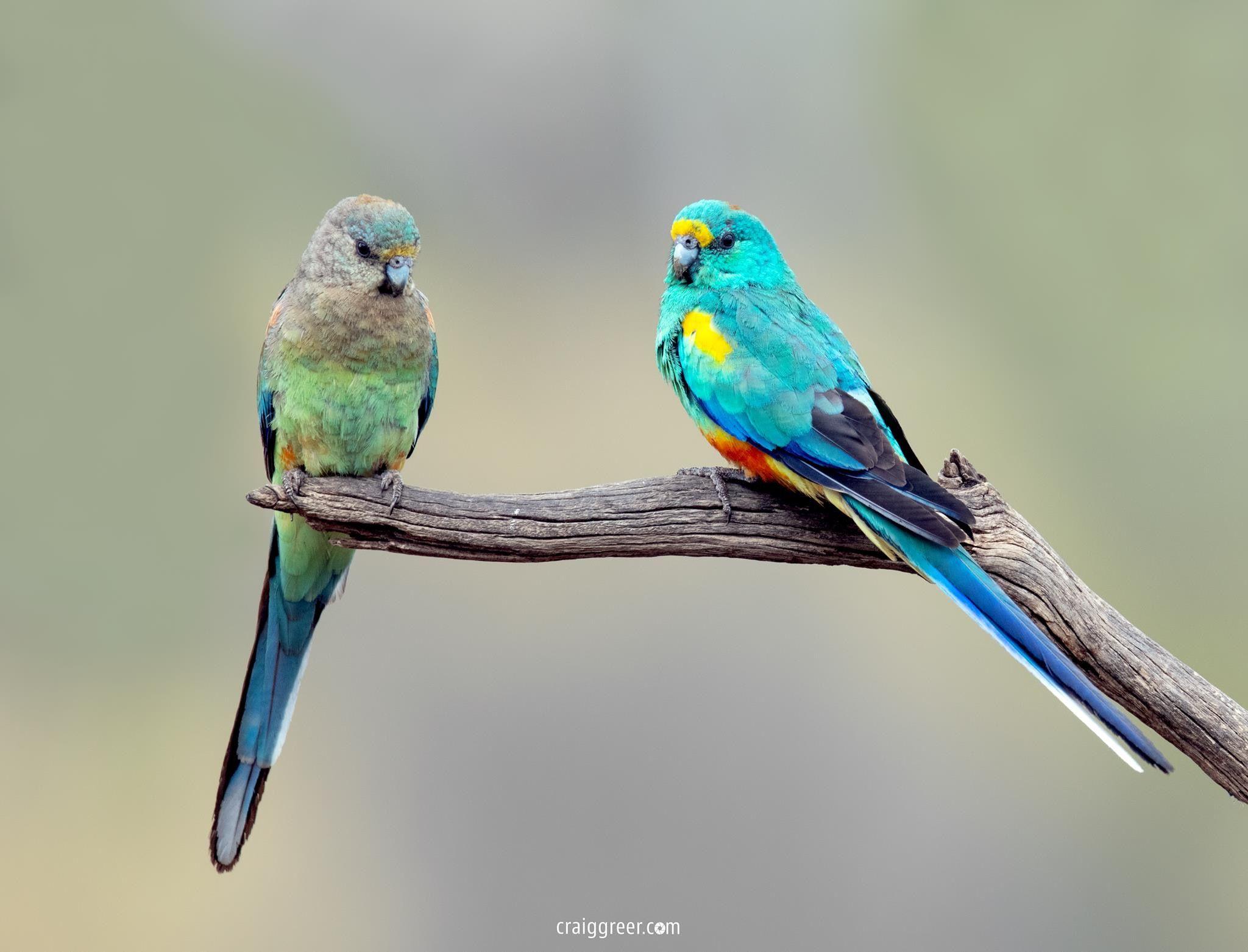 Mulga Parrot Pair With Images Beautiful Birds Birds