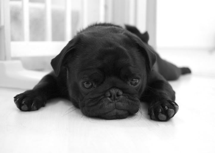 Black Pug Cute Animals Cute Pugs Pug Puppies