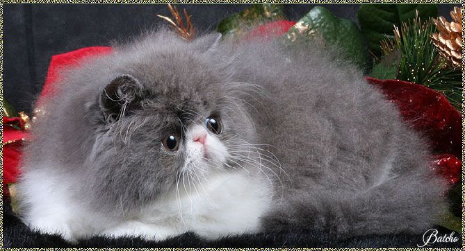 Google Image Result For Http Www Batcho Net Persian Kitten Blue11a Jpg Persian Kittens Cat Breeds Kitten