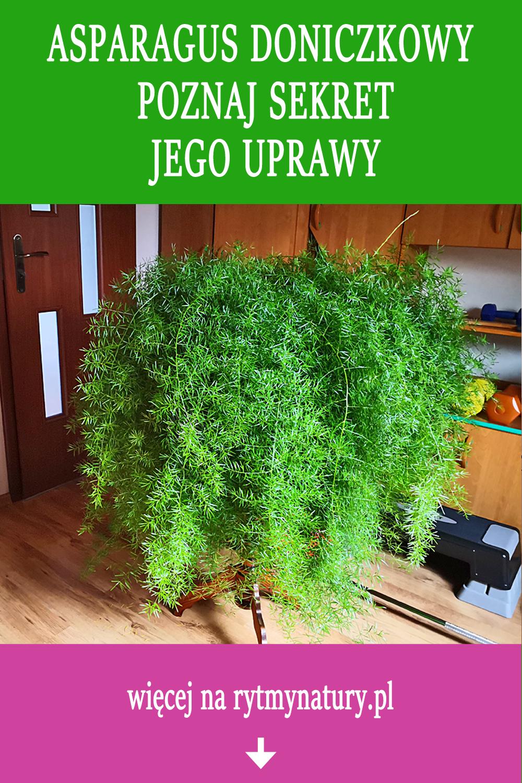 Asparagus Doniczkowy Poznaj Sekret Jego Uprawy Plants Plant Decor Garden