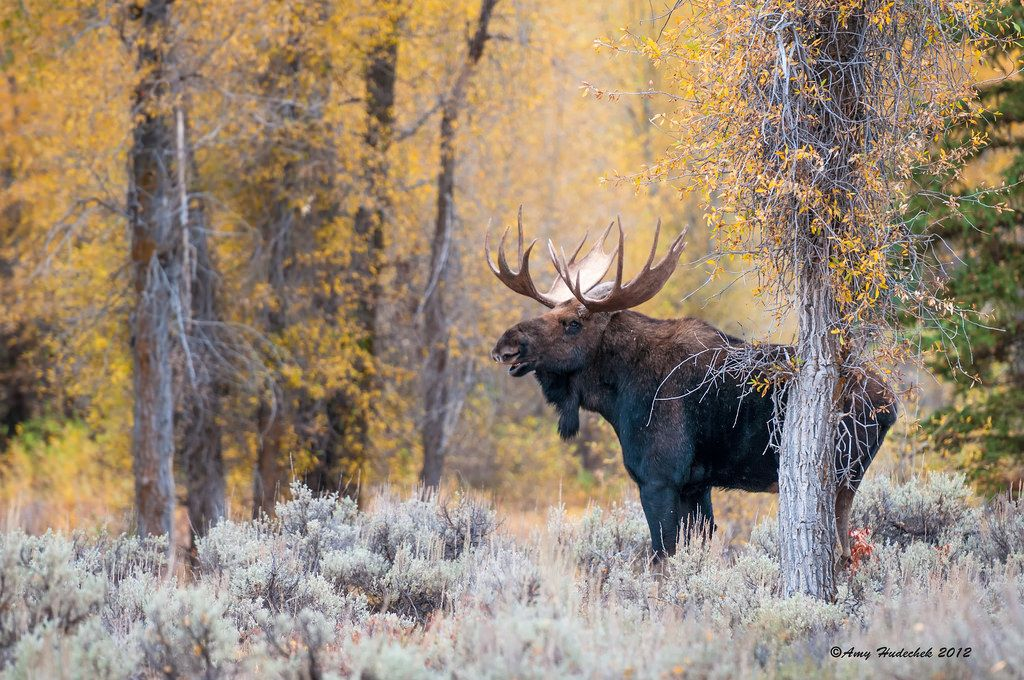 Moose in fall color | Moose pictures, Moose, Moose hunting