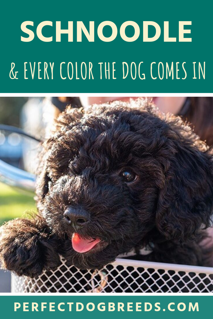 Poodles Have Many Coat Color Possibilities There Are 10 Official