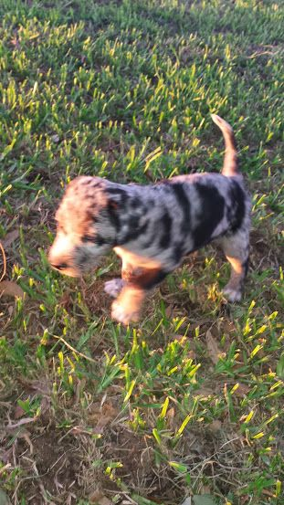 Blue Lacy Catahoula Cross Puppies For Sale Two Left Male And