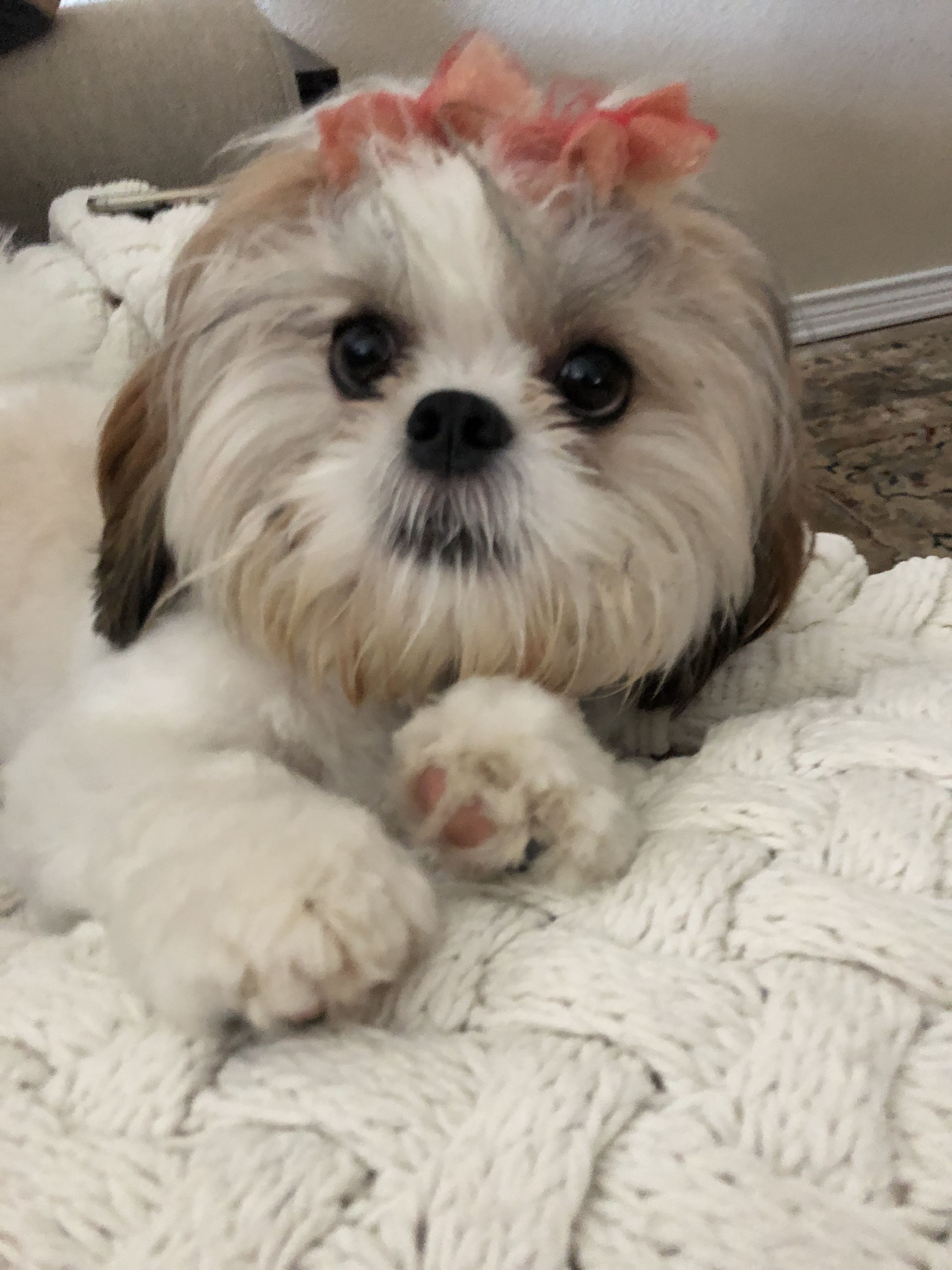 My Beautiful Shih Tzu Paisley Jane Shih Tzu Puppies