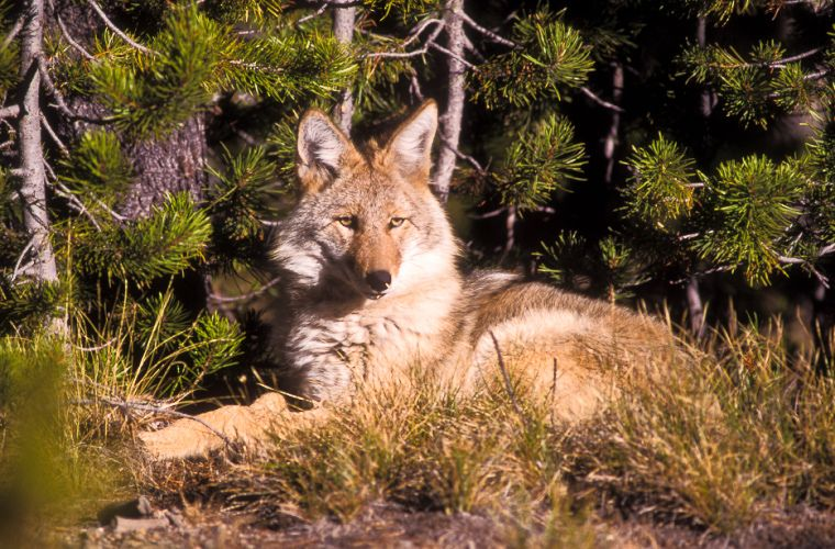 Resting coyote. ©Jerry Mercier A coyote laying near lodgepole pine trees near Norris. Yellowstone National Park, Wyoming.
