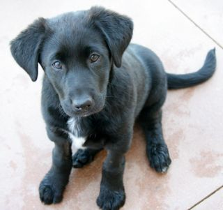 Lab/Border Collie Mix | Dog Breed Puppies | Border collie