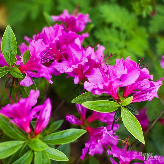 Shrubs for Shady Spots & Shrubs for Shady Spots | Shrub Low lights and Yards azcodes.com