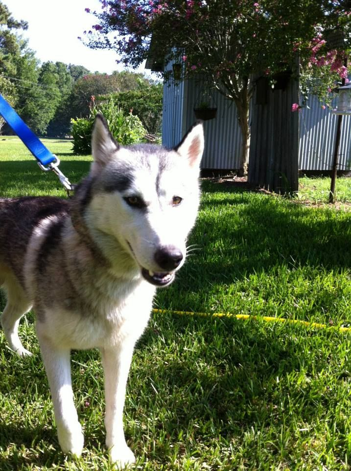 Adopt Juneaux On Animal Welfare Society Siberian Husky Dog Husky