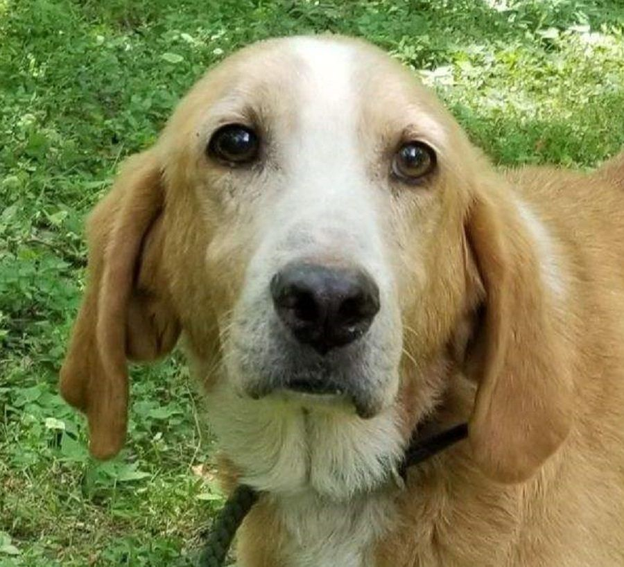 Adopt Teddy Too On Golden Retriever Rescue Labrador Retriever