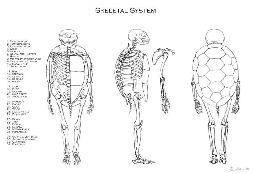 esqueleto de tortuga marina - Buscar con Google | tecnicas ...