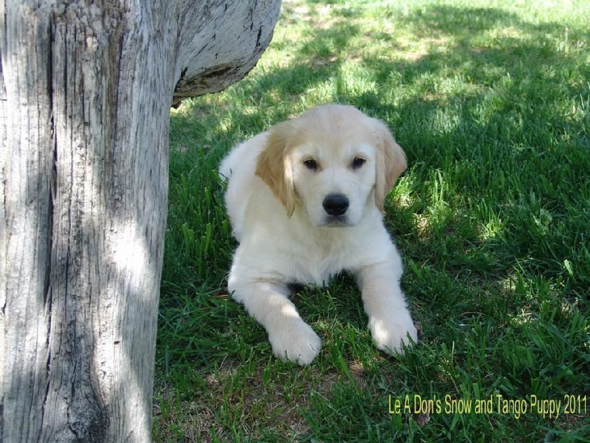 Colorado Golden Retriever Puppies For Sale Colorado Golden