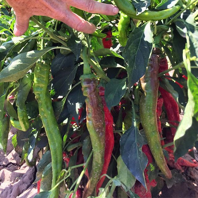 Green Chile: New Mexico's Favorite Food by amberale1 | #TagNewMexico