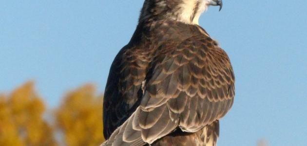 ما الفرق بين النسر والصقر Animals Bird