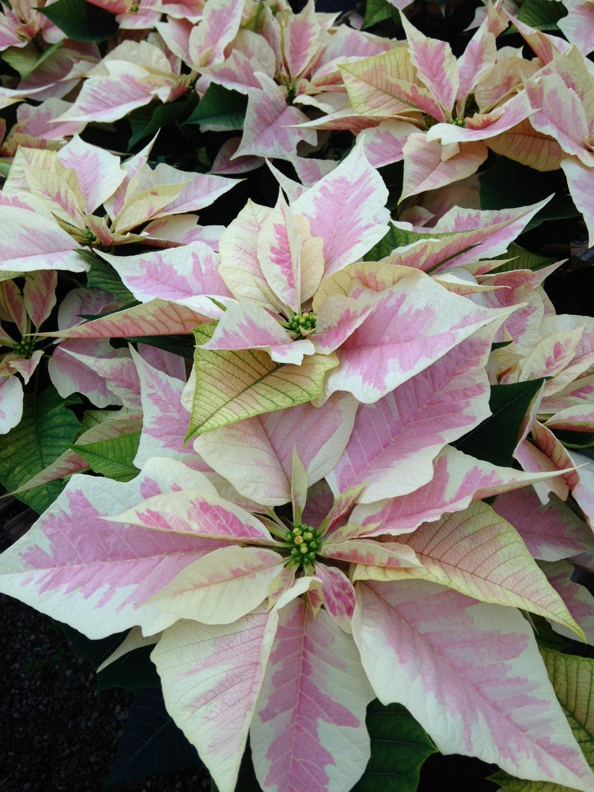 Variety Name Marble Real Flowers Poinsettia Flower Images