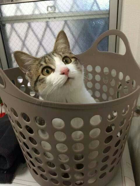 I'm here / cats LOVE laundry baskets!