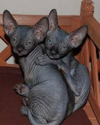 hairless sphynx Black are the most popular color