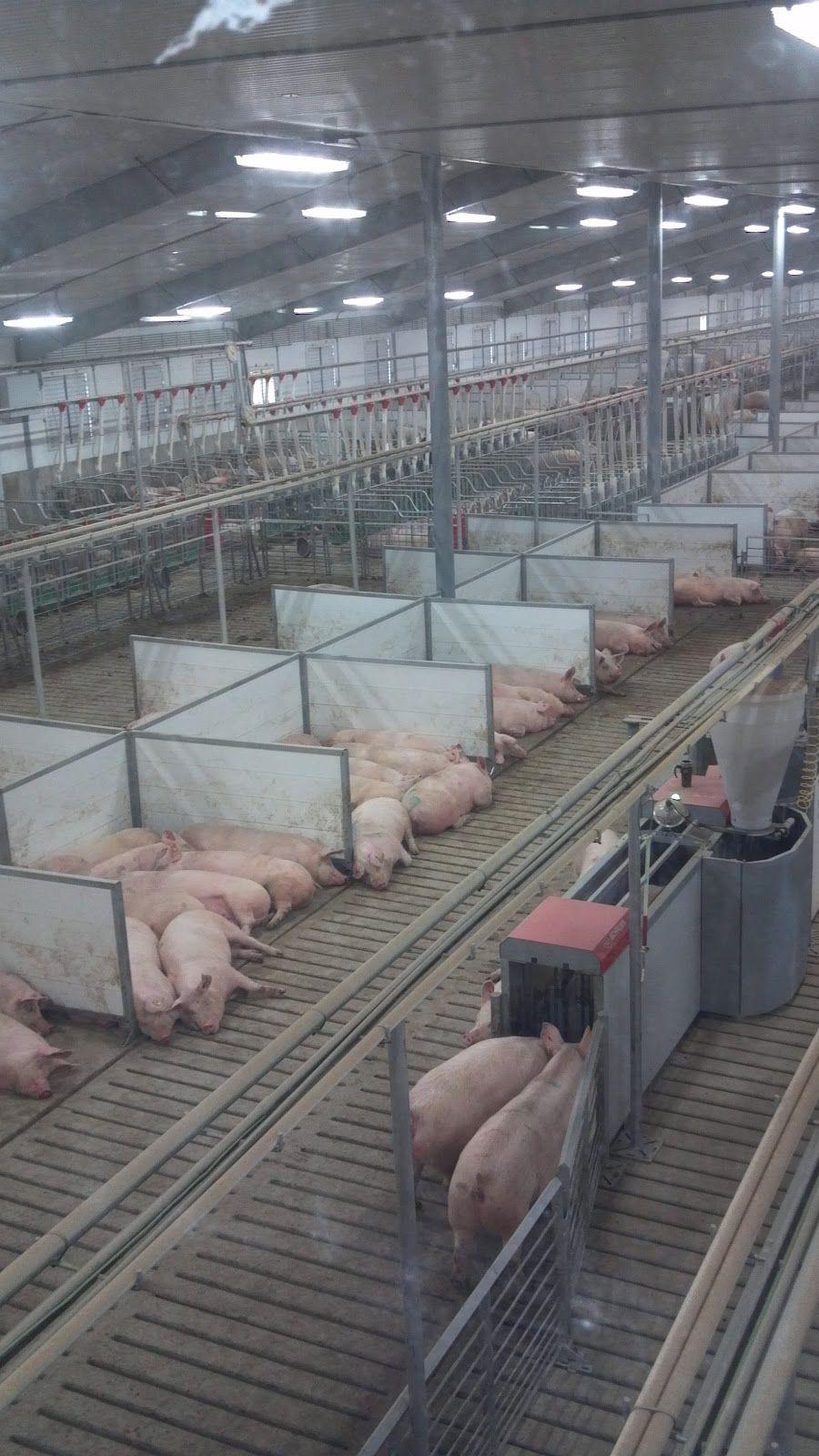 Acorns for Thought Fair Oaks Pig Adventure Pig farming