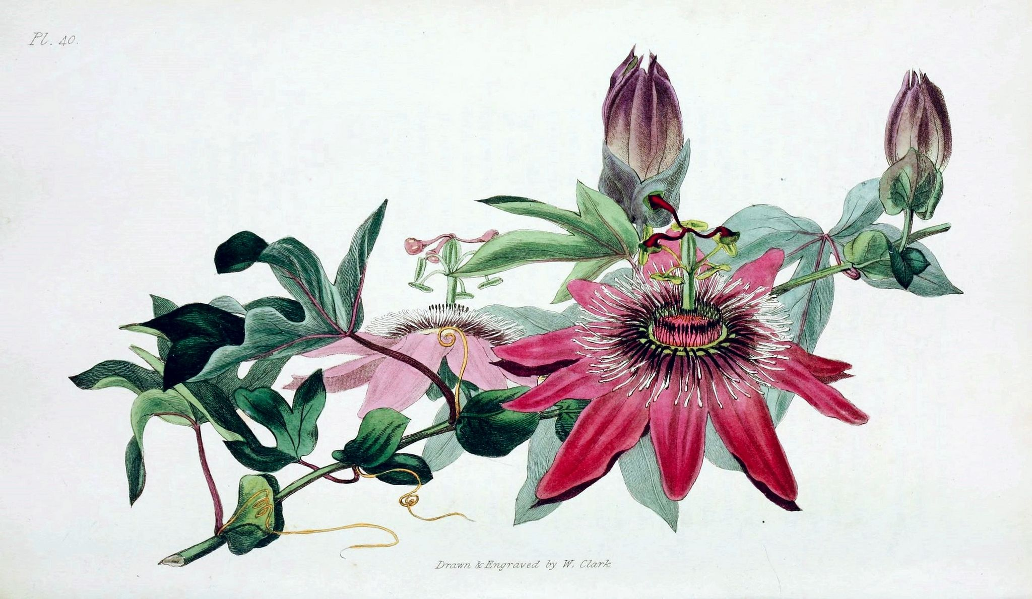 Passiflora Caerulea X Racemosa Cv Racemosa 1826 Passiflora Caerulea Passion Flower Passiflora