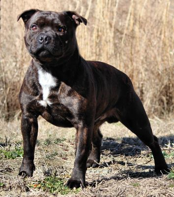 Massie Staffys Căutare Google Staffy Dog American Staffordshire Bull Terrier English Staffordshire Terrier