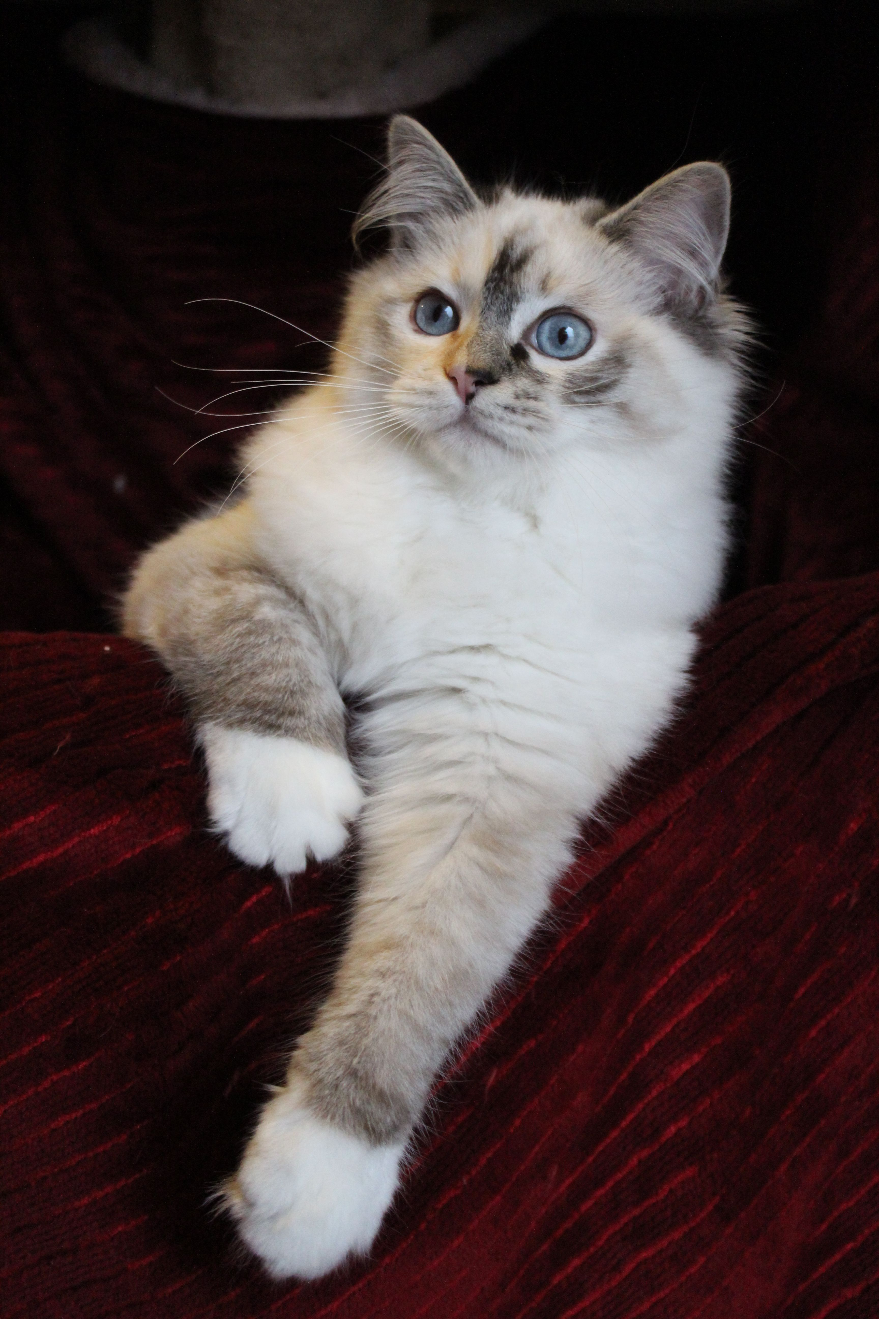 This is my seal lynx torbie mitted female