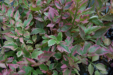 Water Celery takes on a pink hue in the winter months and is evergreen through o=zone 8