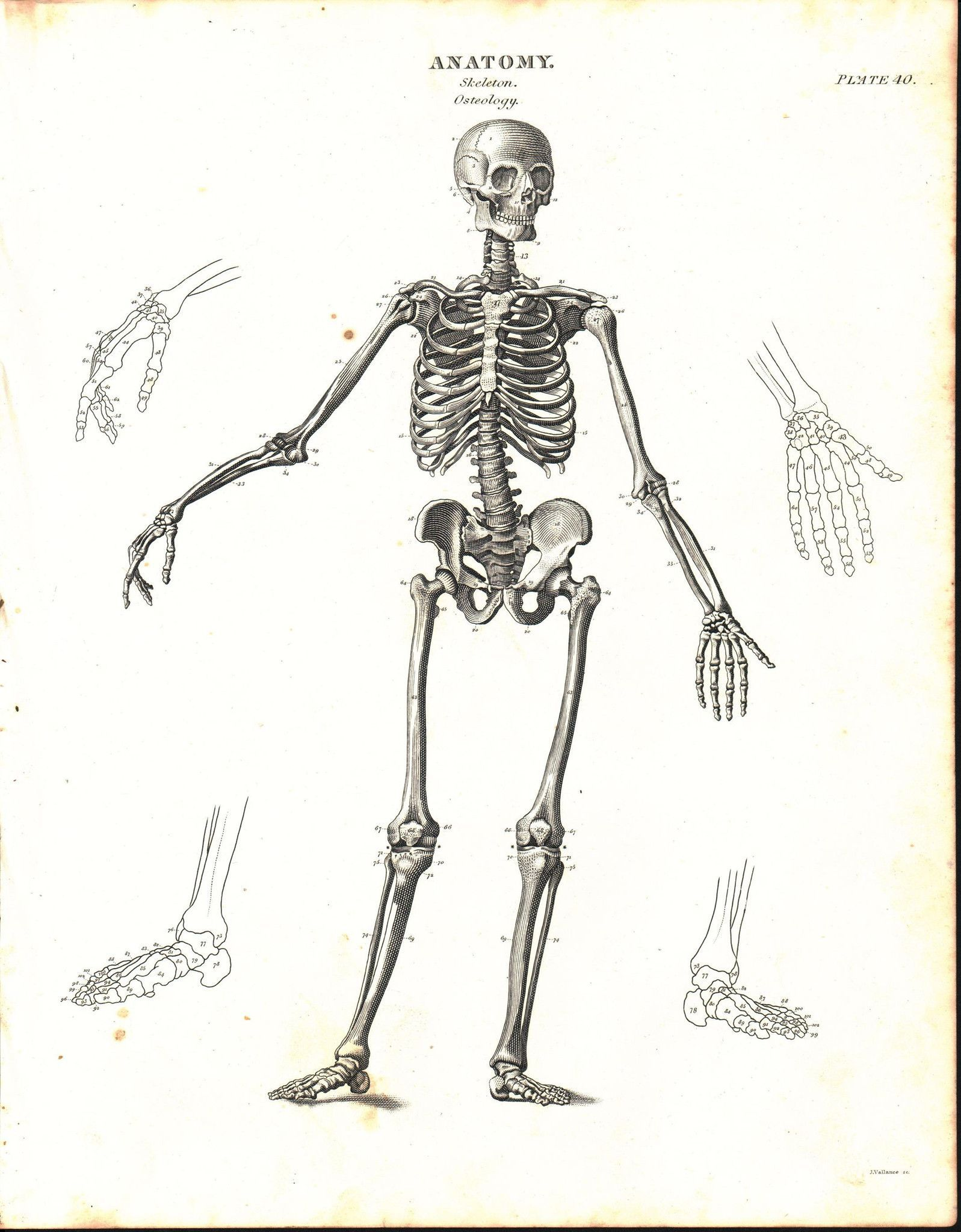 Human Skeleton Osteology Antique Anatomy Print 1834 | Pinterest