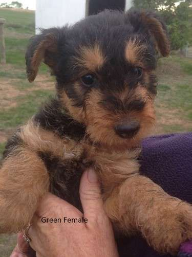 Airedale Terrier Puppies For Sale Registered Annieaire Is A