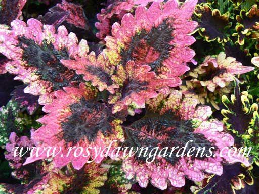 Florida Sun Rose Coleus   RosyDawnGardens.com : Online Coleus Plant Catalog   Rosy Dawn Gardens,   Coleus Growing Specialists