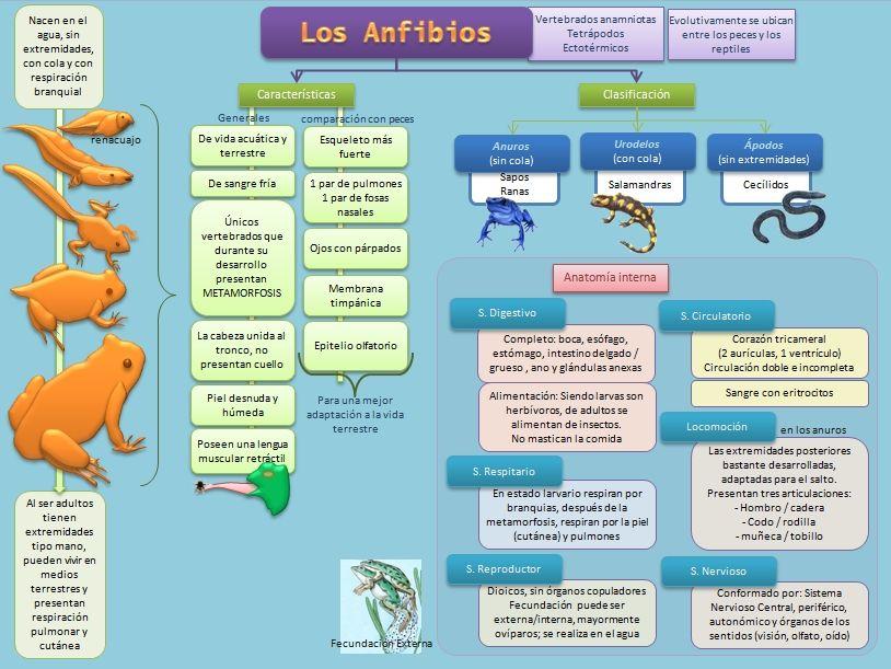 Los anfibios. Clasificación y características. | Anfibios ...