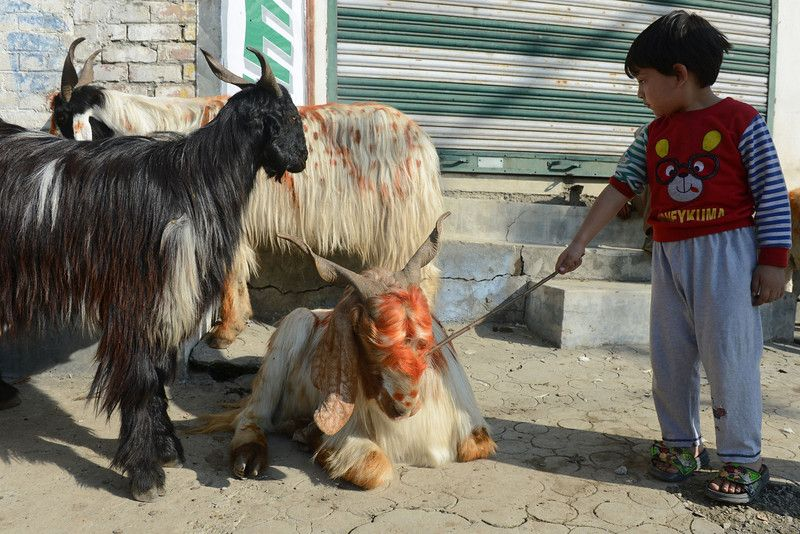 A Kashmiri child pokes a goat, one of many for sale, ahead of the Muslim festival of Eid al-Adha, in Srinagar on October 15, 2013