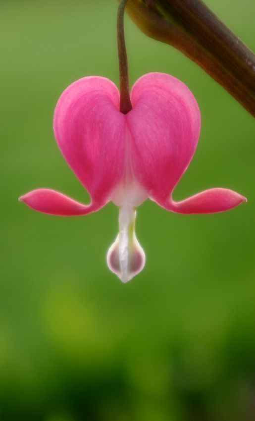Open Hearts Bleeding Heart Flower Flowers Bleeding Heart