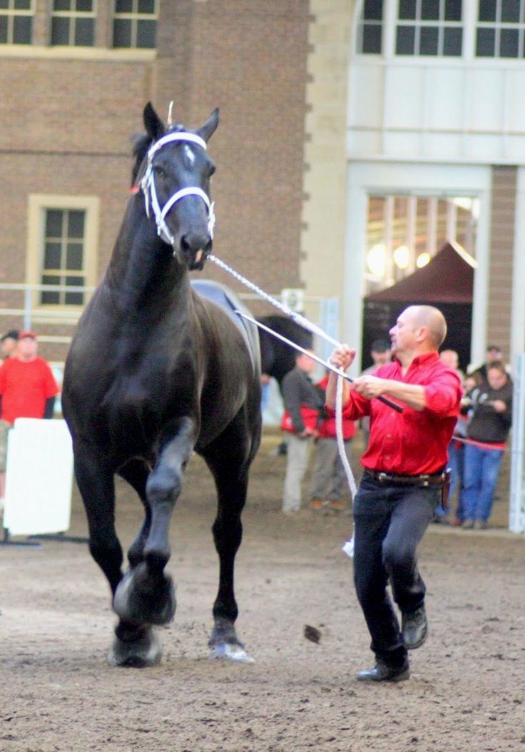 Percherons horses hacks Should you not would like female