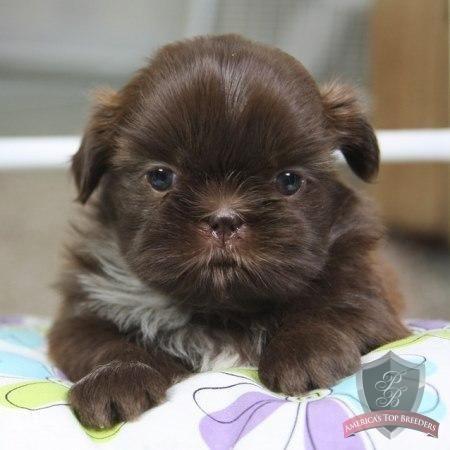 Shih Tzu Puppy Evelyn Shihtzu