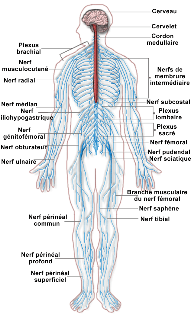 Iii Les Systemes Vitaux Du Corps Humain Medecine Nervous System