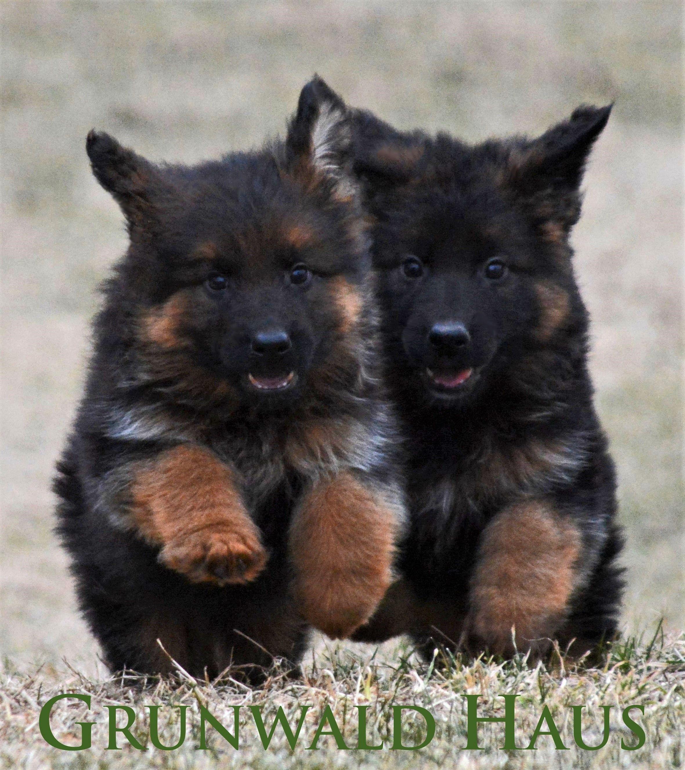 7 Week Old Long Coat German Shepherd Puppies By Grunwald Haus